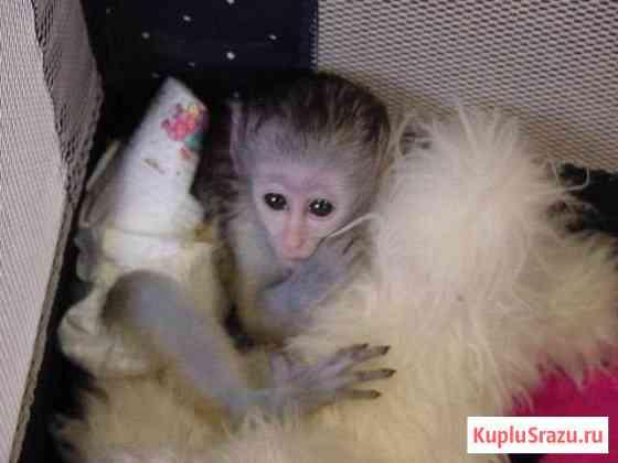 Милые обезьяны капуцины для нового дома Новосибирск