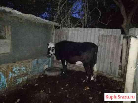Корова Северное