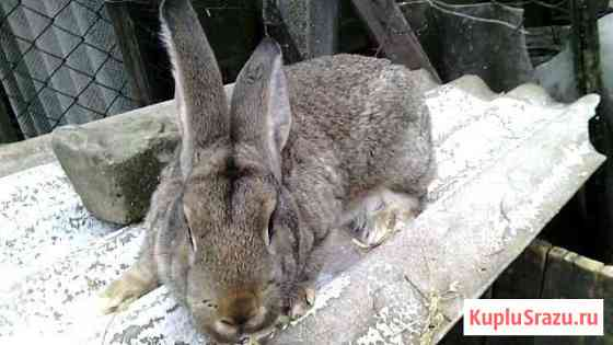Кролики-помесь серого великана и фландера Чекмагуш