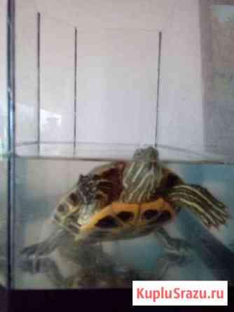Красноухие черепахи Нижний Новгород