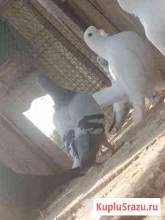 Продаю голубей породы Чех Калуга
