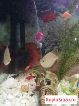 Метиннис (доллар) в аквариум Видное
