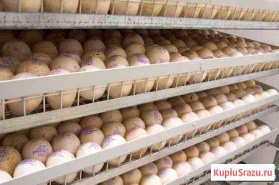 Инкубационное яйцо круглогодично Сызрань