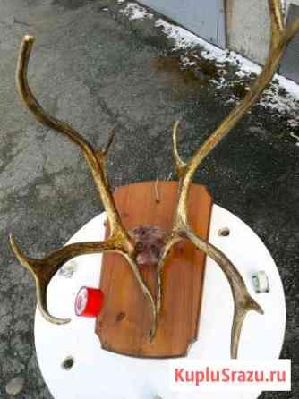 Рога оленя на медальоне из ангарской сосны Красноярск
