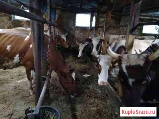 Коровы айрширской породы Кольчугино