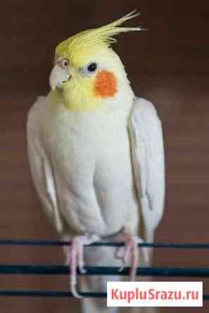 Попугай Кизляр