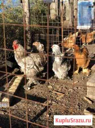 Семья кур (4+1 ) Старый Оскол