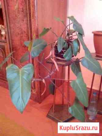 Филодендрон, щучий хвост Курган