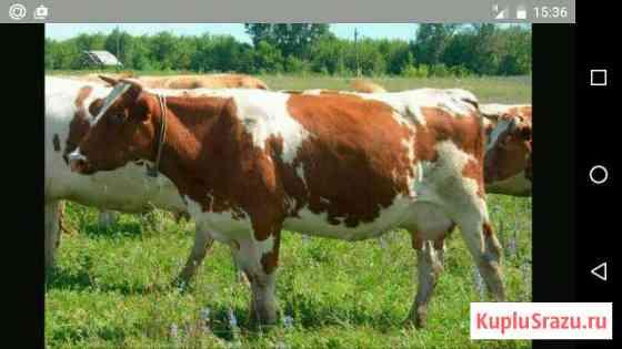Корова Приводино
