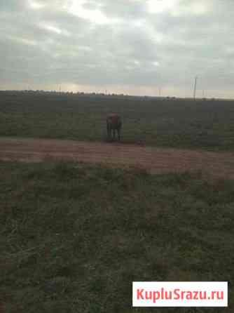 Коровы 3 головы Евпатория