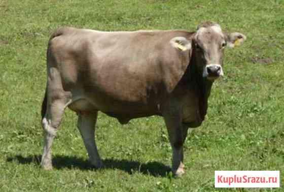 Продается корова c теленком Дубровка