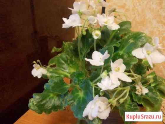 Комнатные цветы фиалки Чита