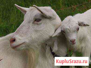 Продам козлят Волгоград