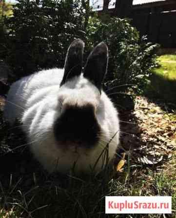 Кролики-калифорнийцы Красноярск