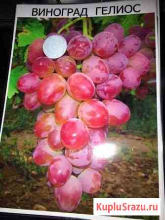 Виноград Нальчик
