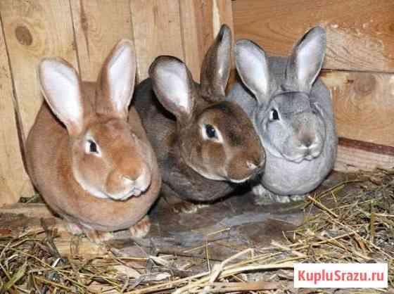 Кролики на племя Всеволожск