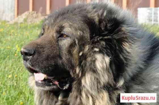 Щенки кавказской овчарки, и взрослые собаки Пермь