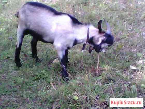 Активный козел на случку Глазов