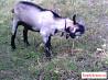 Активный козел на случку