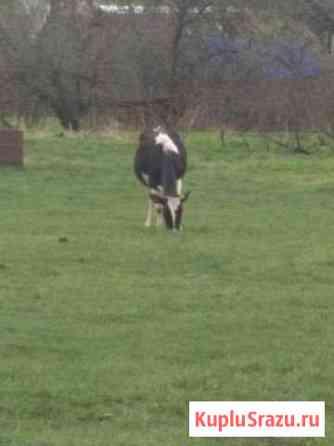Корова Кимры