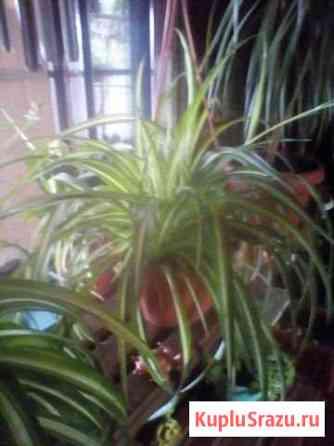 Цветы в подвесных кашпо Хлорофитум Кошехабль