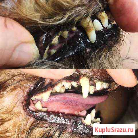 Ультразвуковая чистка зубов собак Всеволожск