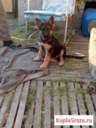 Продам породистых щенков немецкой овчарки Рубцовск