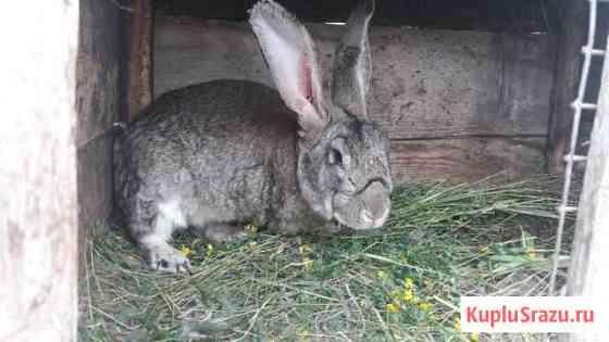 Кролики Раевский