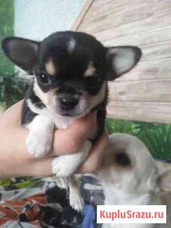 Продам щенка чихуахуа Билимбай