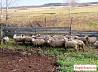 Овцы, бараны живые