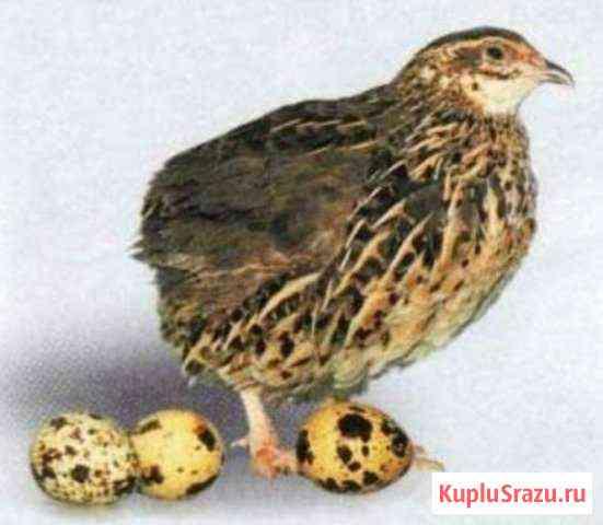 Яйцо инкубационное перепелиное, перепелки-несушки Пожва