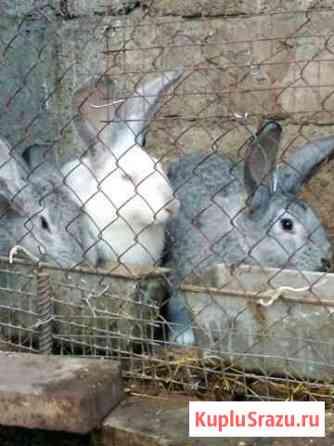 Кролики Черкесск