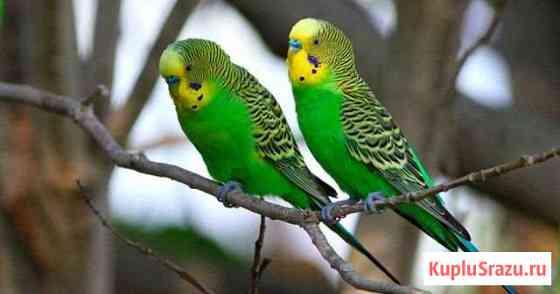 Волнистые попугайчики и голуби белые на свадьбу Майкоп