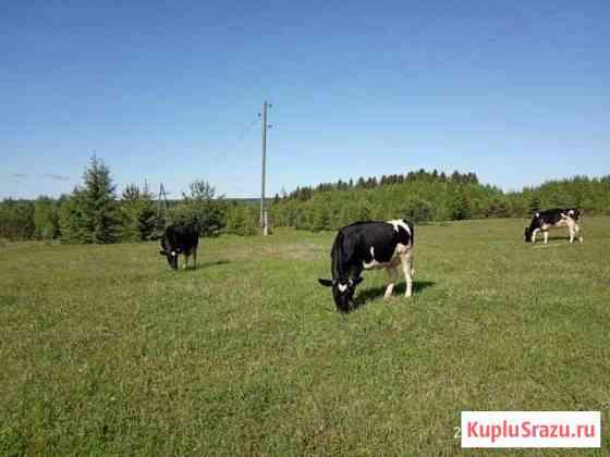 Молочные коровы Пермь