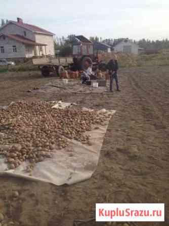 Домашний картофель Всеволожск