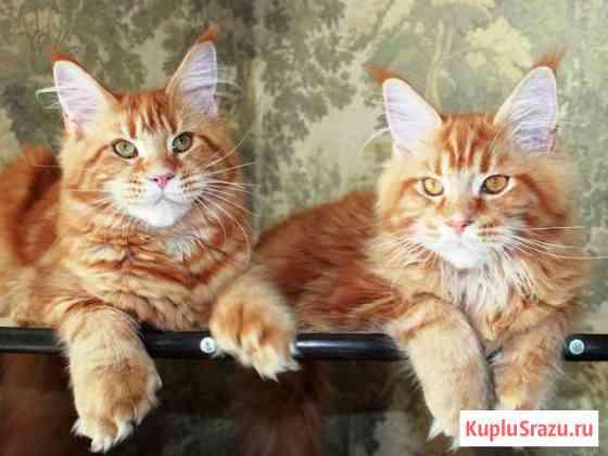 Крупные котята мейн кун из питомника Казань
