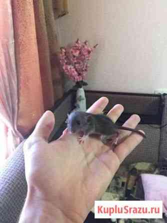 Крысята Курск