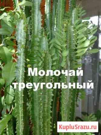 Цветок Майкоп