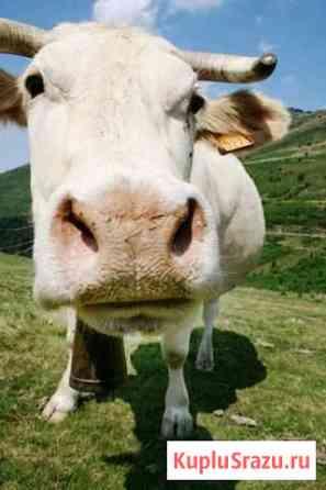 Продам молодую корову 2 года Усть-Илимск