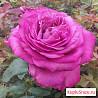 Саженцы роз и малины.Розы более 70 сортов.Малина р