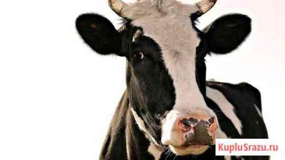 Корова Промышленная