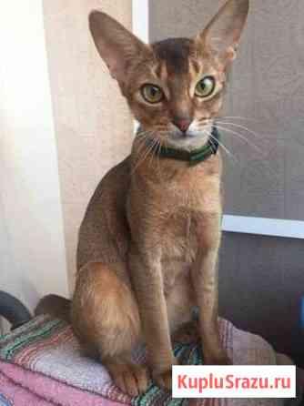 Абиссинская кошка Астрахань