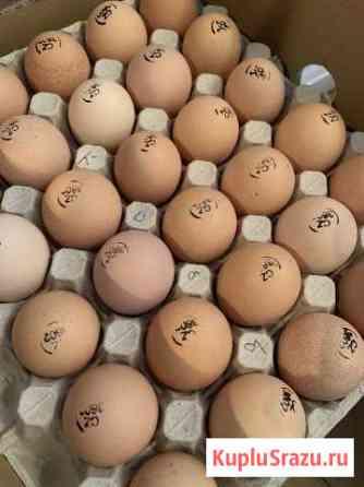 Инкубационное Яйцо Бройлера Кобб 500 Орехово-Зуево