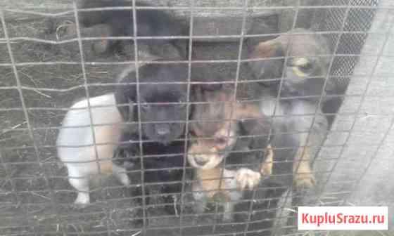 Продаю 5-ых щенков спаниеля охотничья, утятница Урюпинск