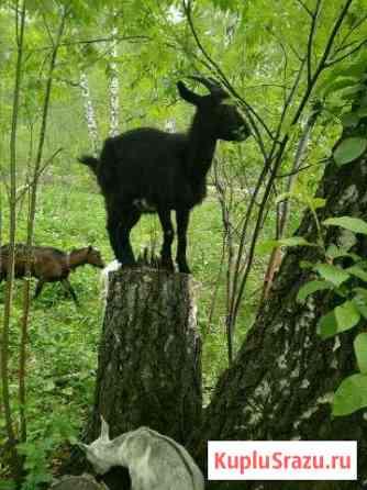 Камерунские козы Новосибирск