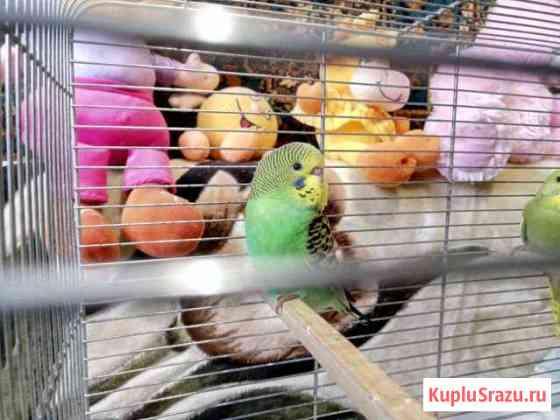 Волнистые попугайчики Екатеринбург