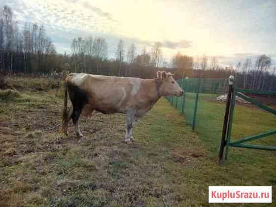 Корова Холм-Жирковский