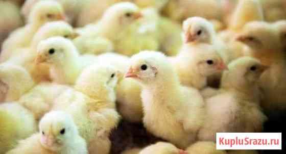 Продам цыплят 3мес Алапаевск