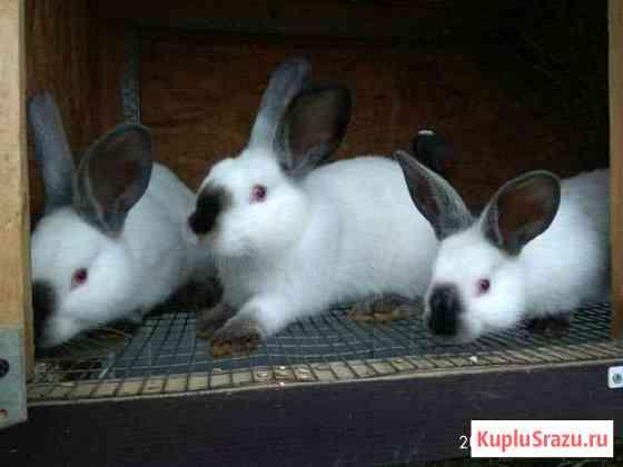 Кролики Калифорния Реммаш