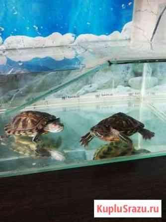 Черепахи красноухие Уфа